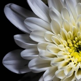 Что значат хризантемы в разных культурах?